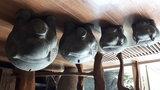 Balinees varken (XL)_